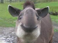 /members/images/775100/Gallery/tapir.jpg