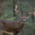 Mr_Whitetail_Tracker