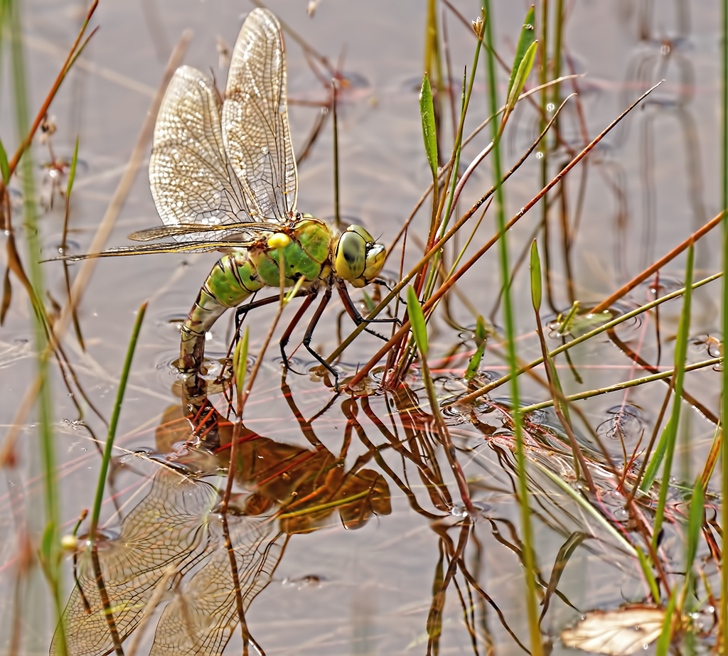 Emperor Dragonfly Laying Eggs — Digital Grin Photography Forum