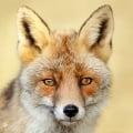 Foxtrotter