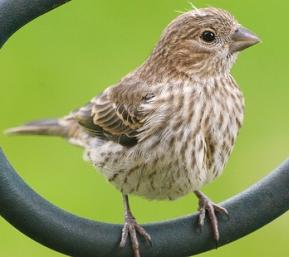 green fingered finch