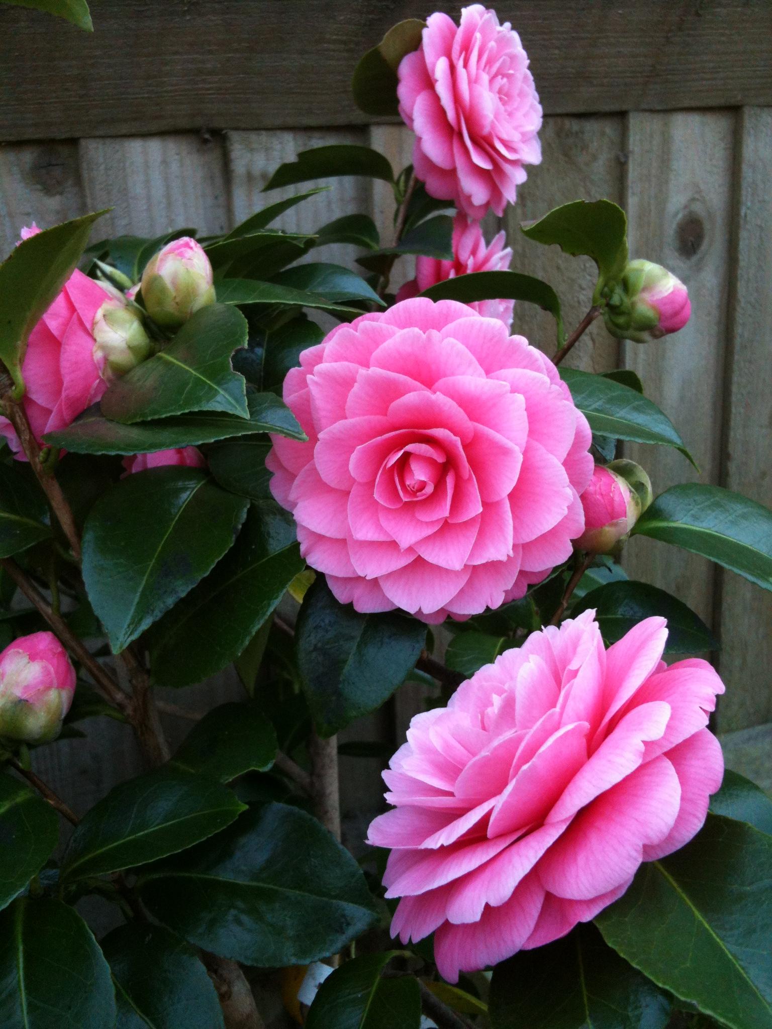 Rose2502