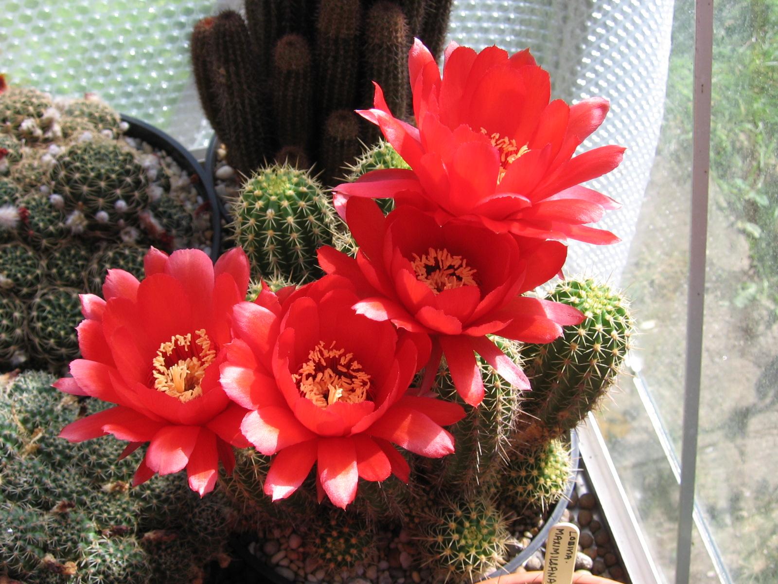 cactusflower57