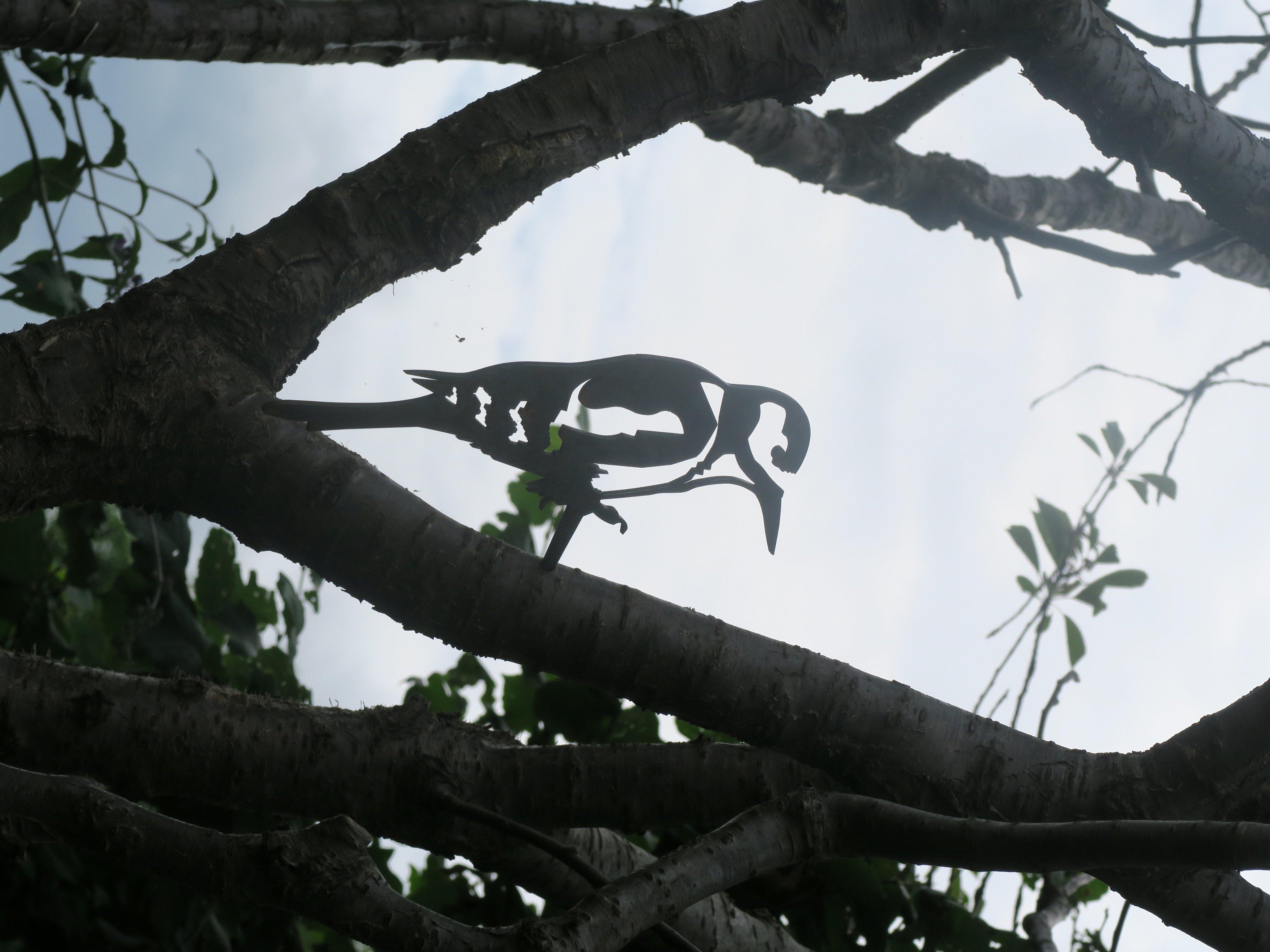 Picidae