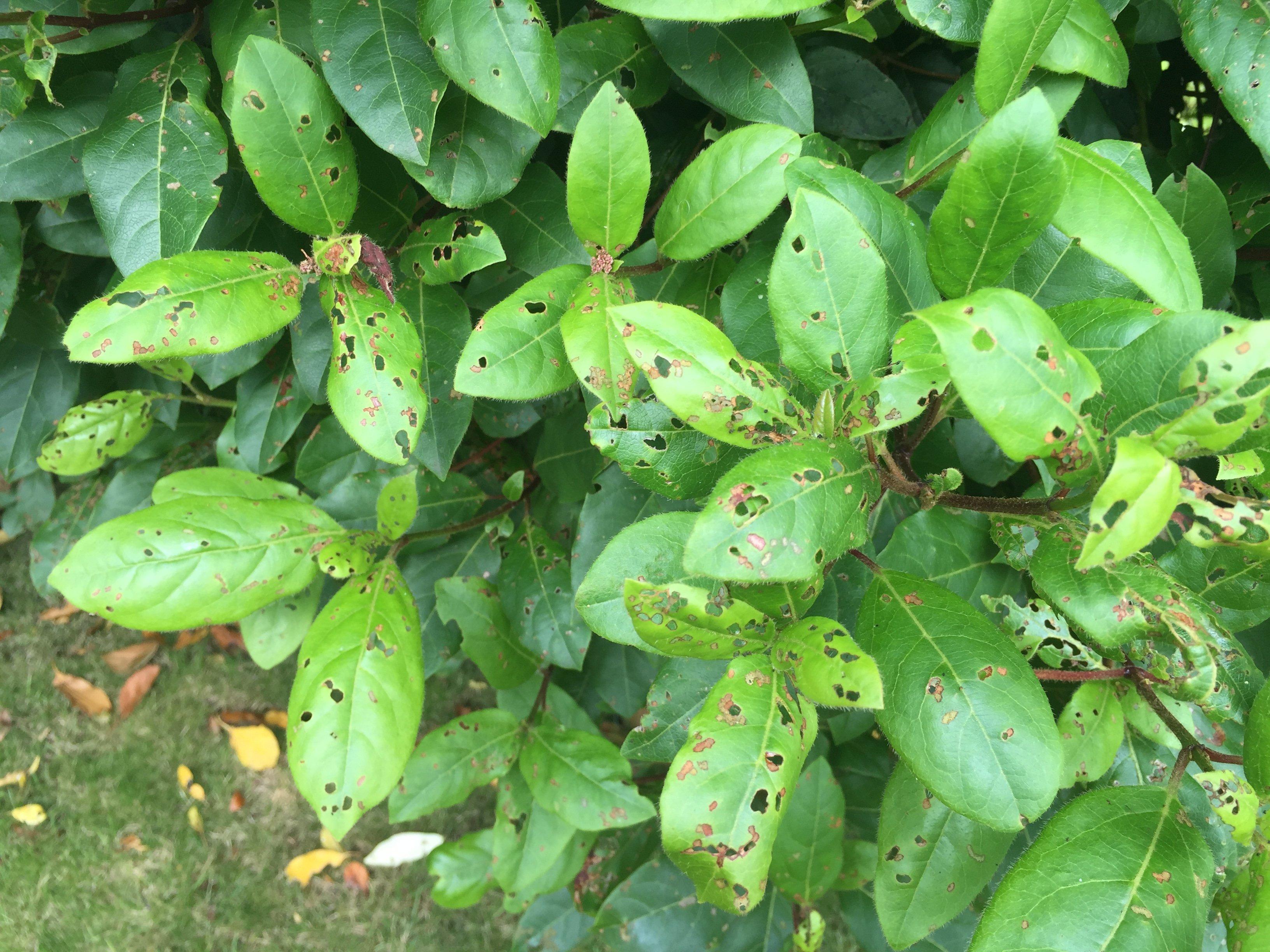 Earwig Infestation What does an earwig infestation look like