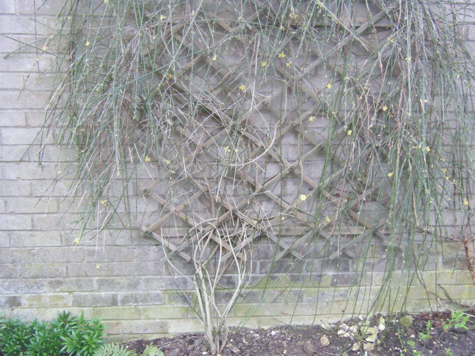 Pruning jasmine forum gardenersworld bob image image izmirmasajfo