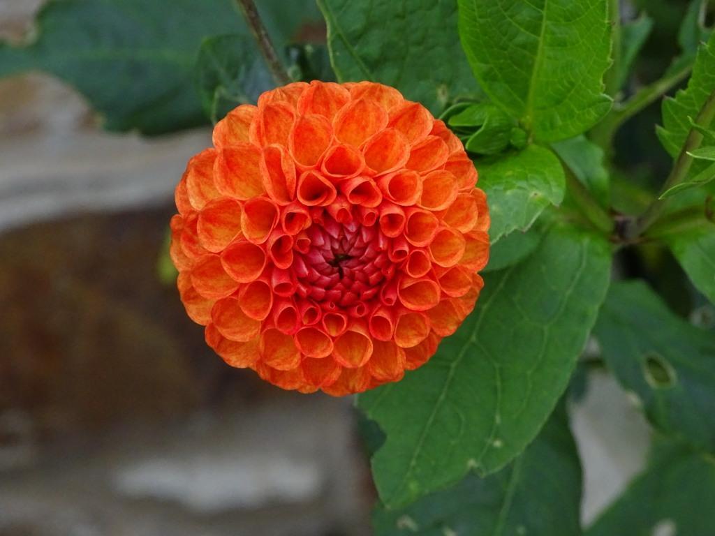 Dahlias forum gardenersworld dahlias izmirmasajfo