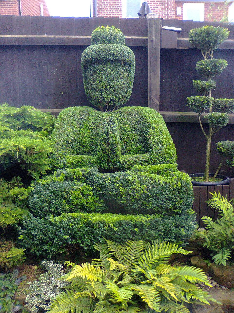 Charmant Ten Year Old Buddha Topiary .Gave Him A Trim Last Night.