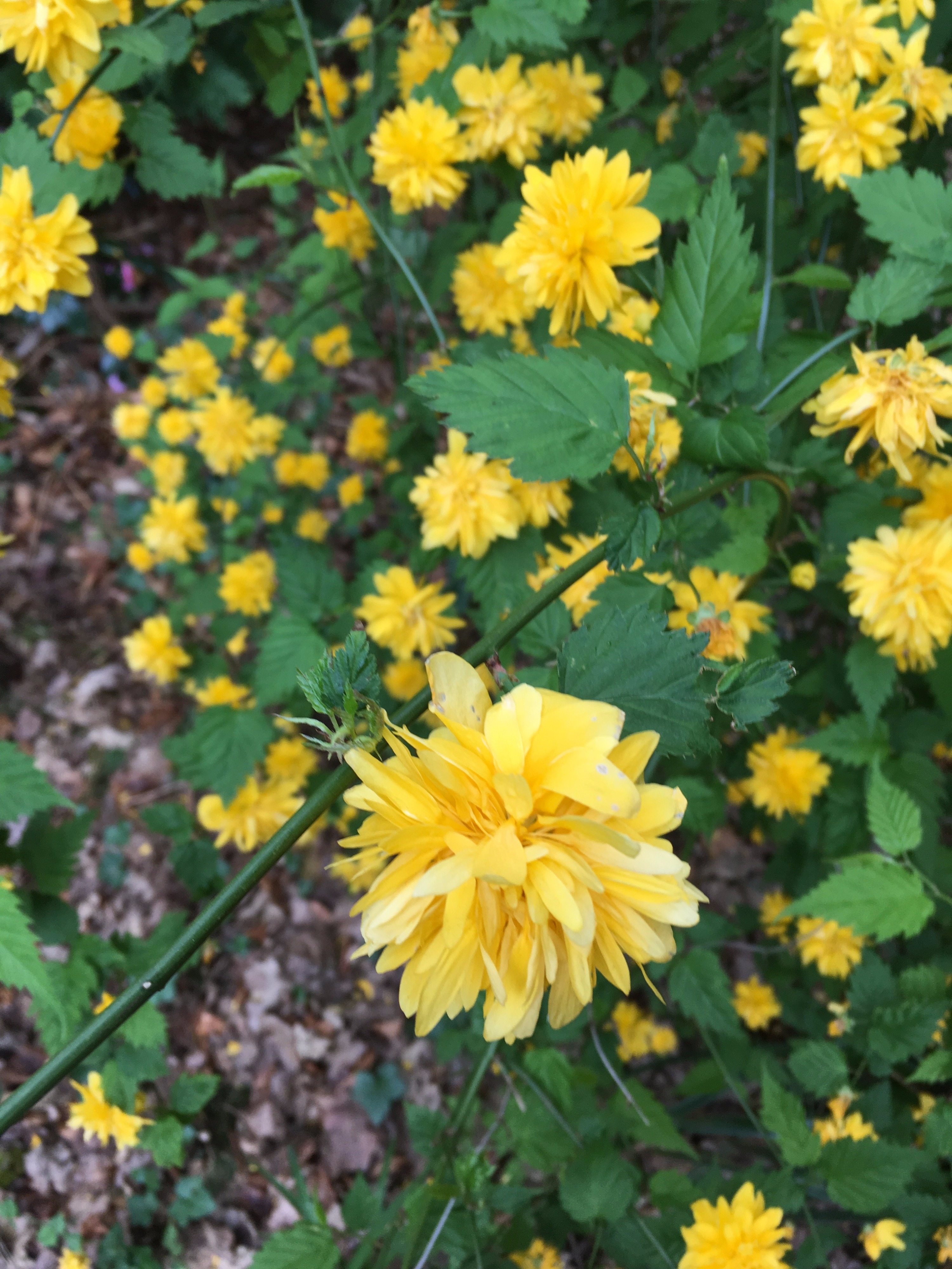 Can someone identify this yellow flower plantshrub forum can someone identify this plant please mightylinksfo