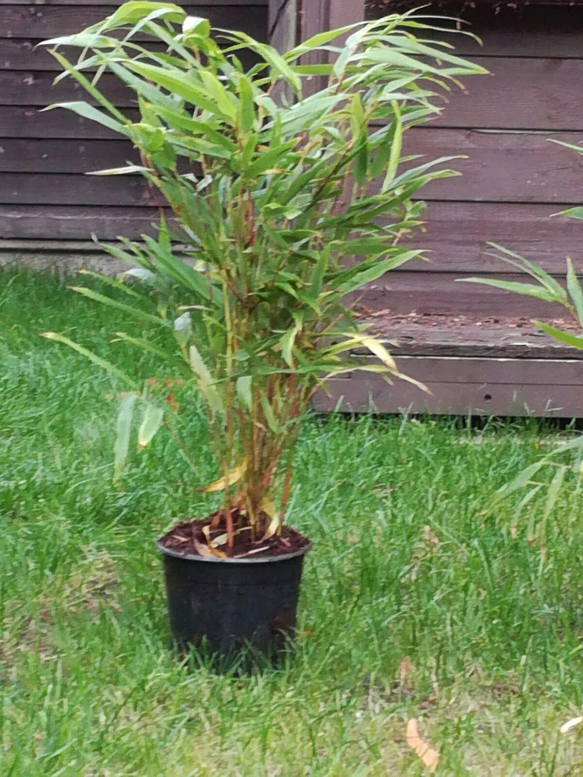 Red Stem Bamboo Help Bbc Gardeners World Magazine
