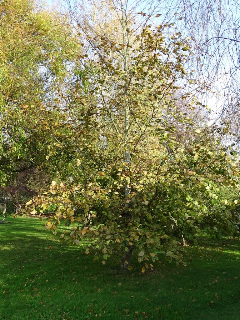 Pruning Magnolia And Beech Tree Bbc Gardeners World Magazine
