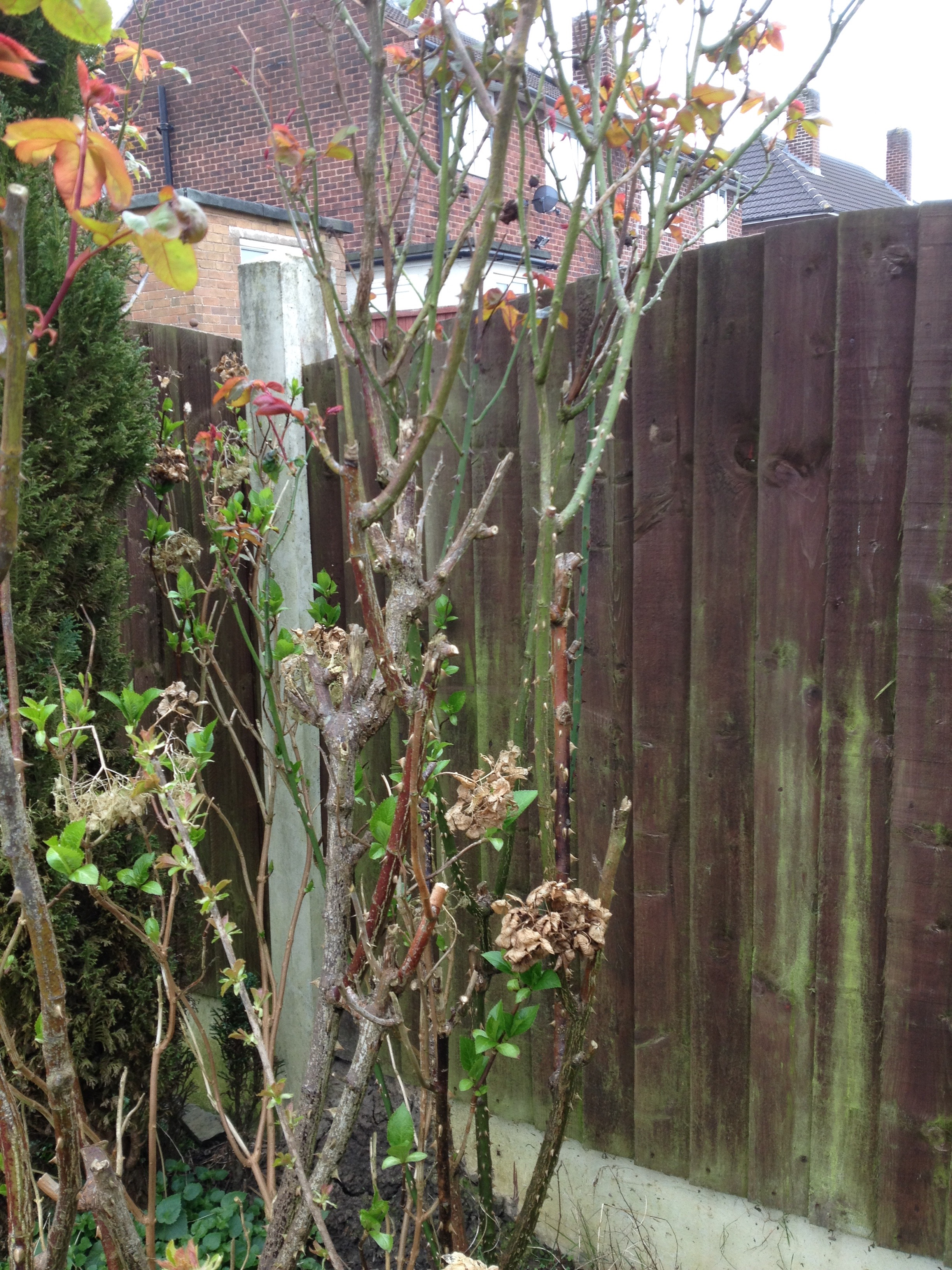 Will This Rose Regrow If I Cut Low Bbc Gardeners World Magazine