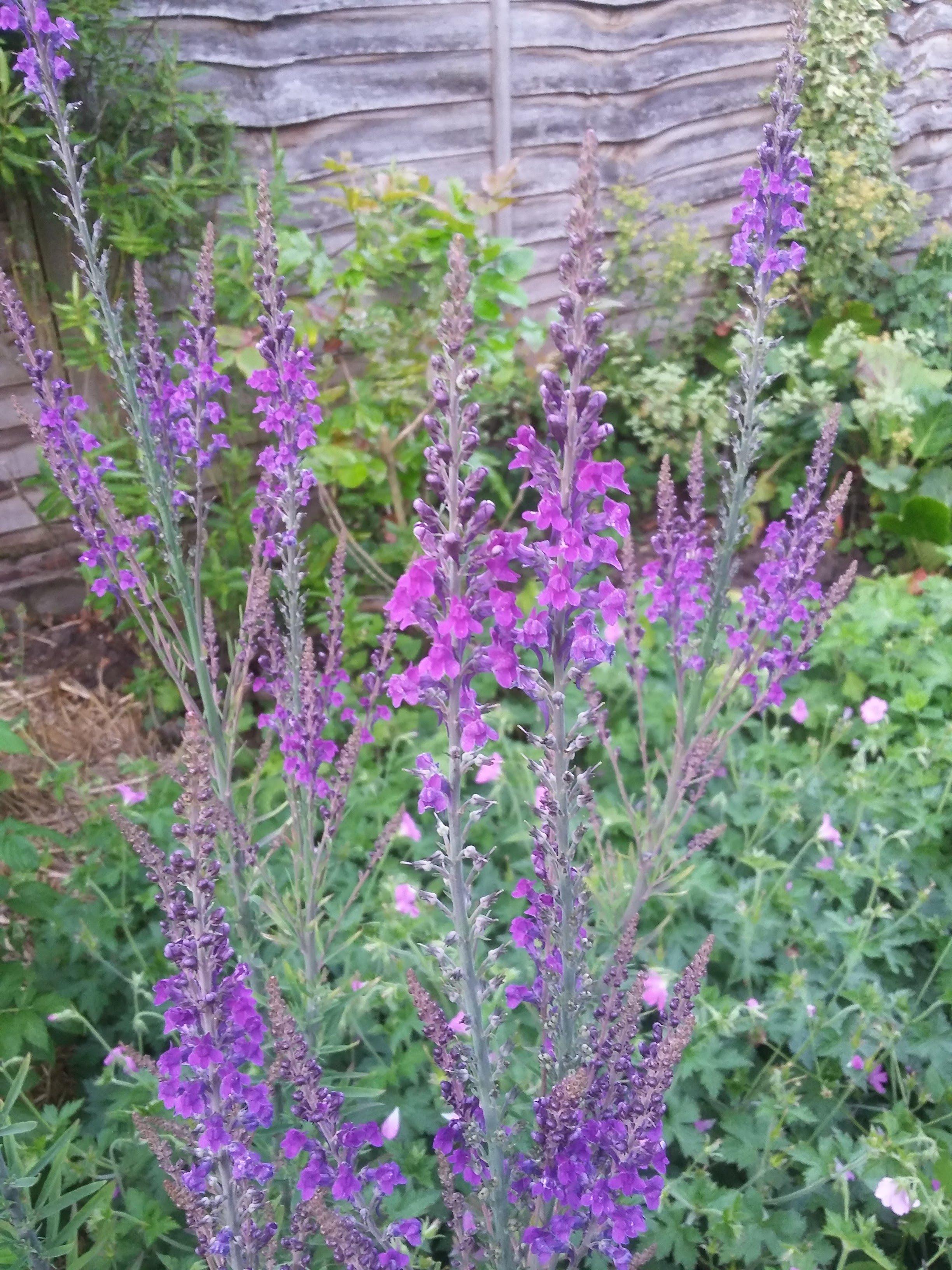 Tall Wild Flower Id Help Forum Gardenersworld