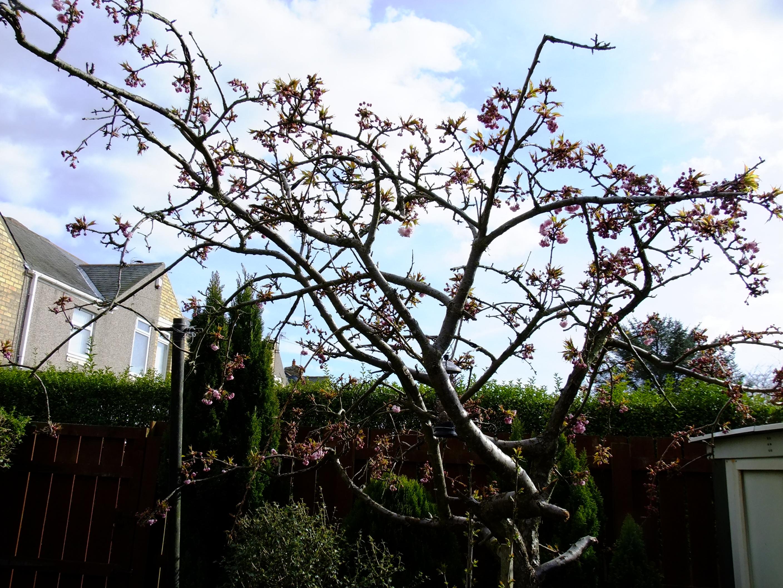 Dying Cherry Blossom Branches Bbc Gardeners World Magazine