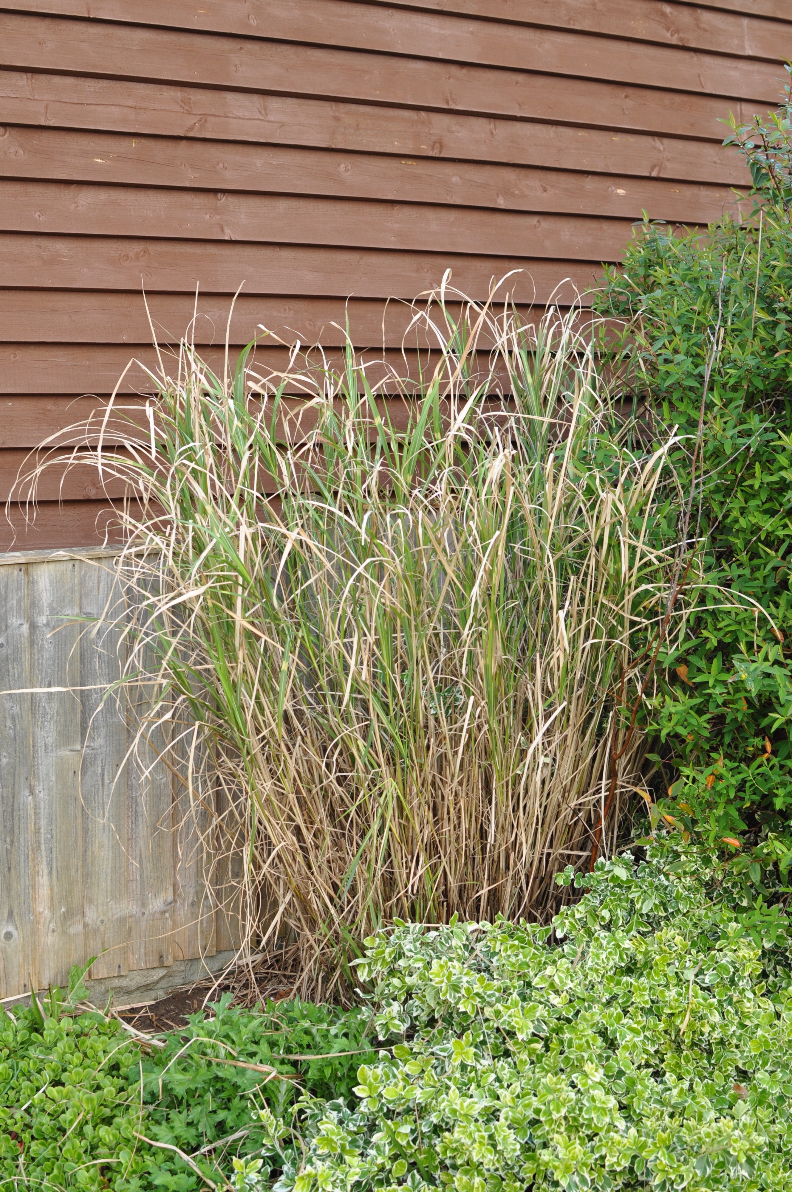 Ornamental grass miscanthus forum gardenersworld ive never grown ornamental grass before but following a house move i have quite a large deciduous one it was not cut back last year workwithnaturefo