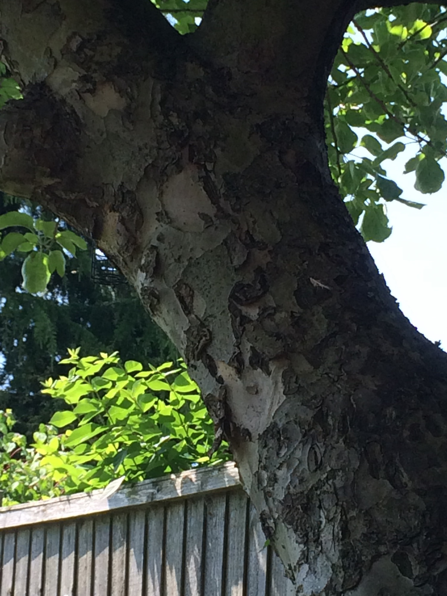 Peeling Apple Tree Bark Bbc Gardeners World Magazine