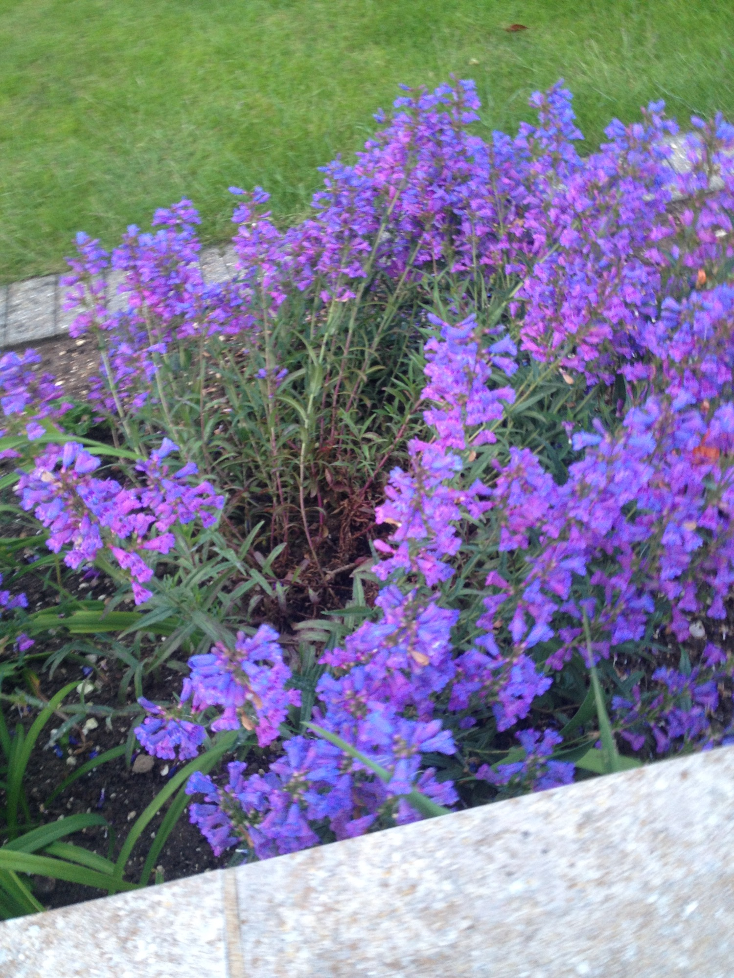 What type of penstemon is this forum gardenersworld image izmirmasajfo Images