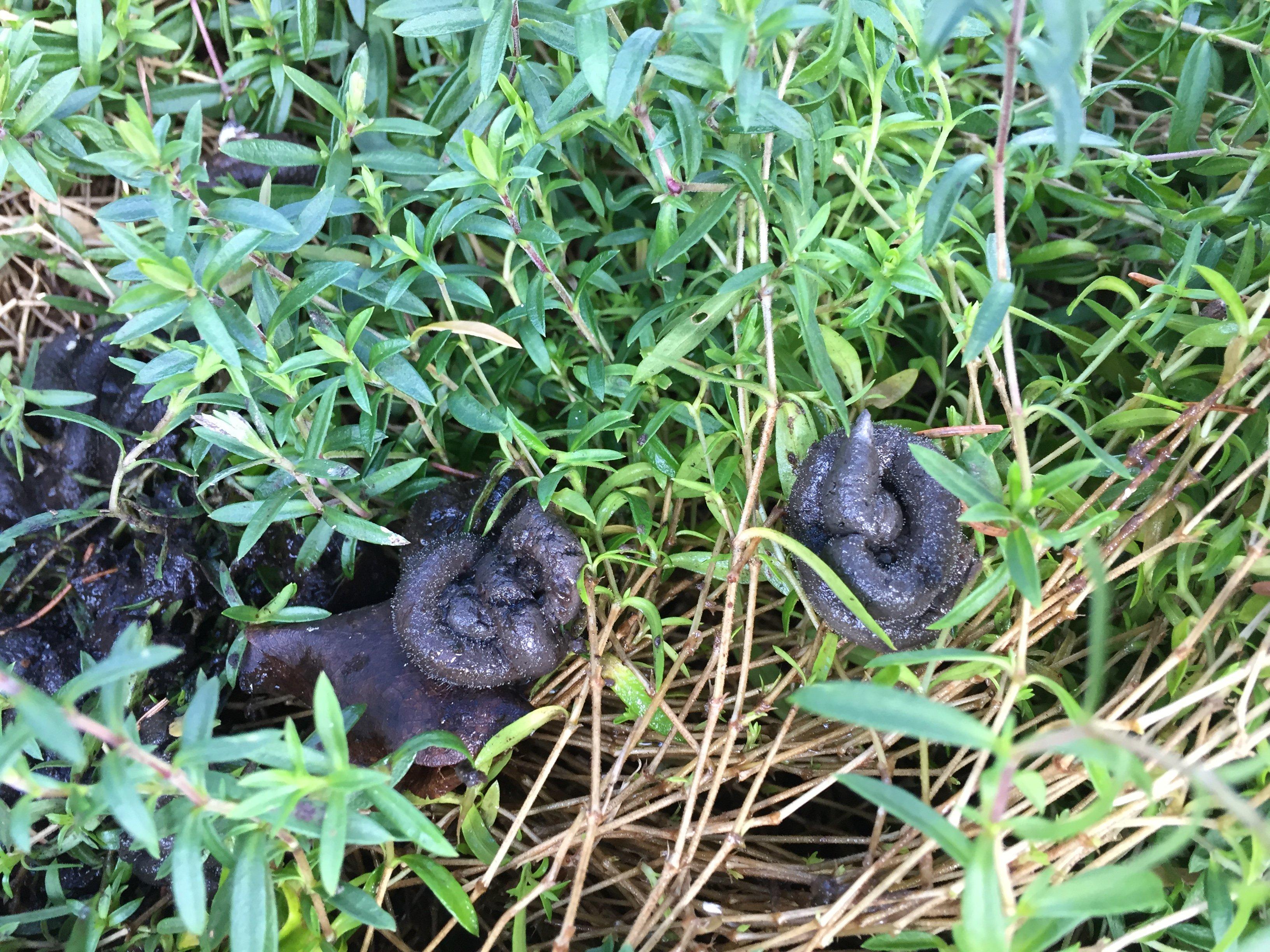 Identify Animal Droppings Forum