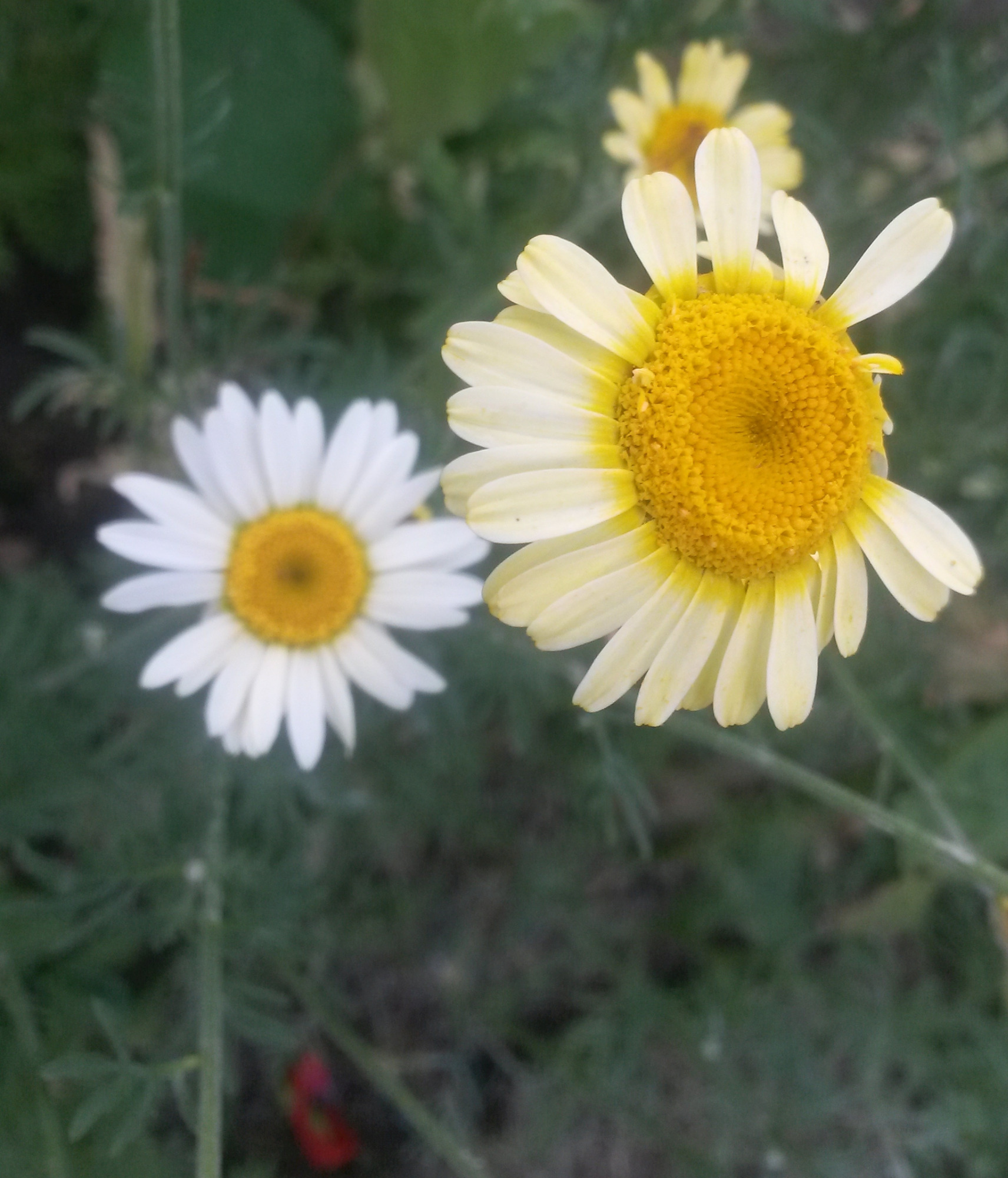 Help With Daisy Family Ids Forum Gardenersworld
