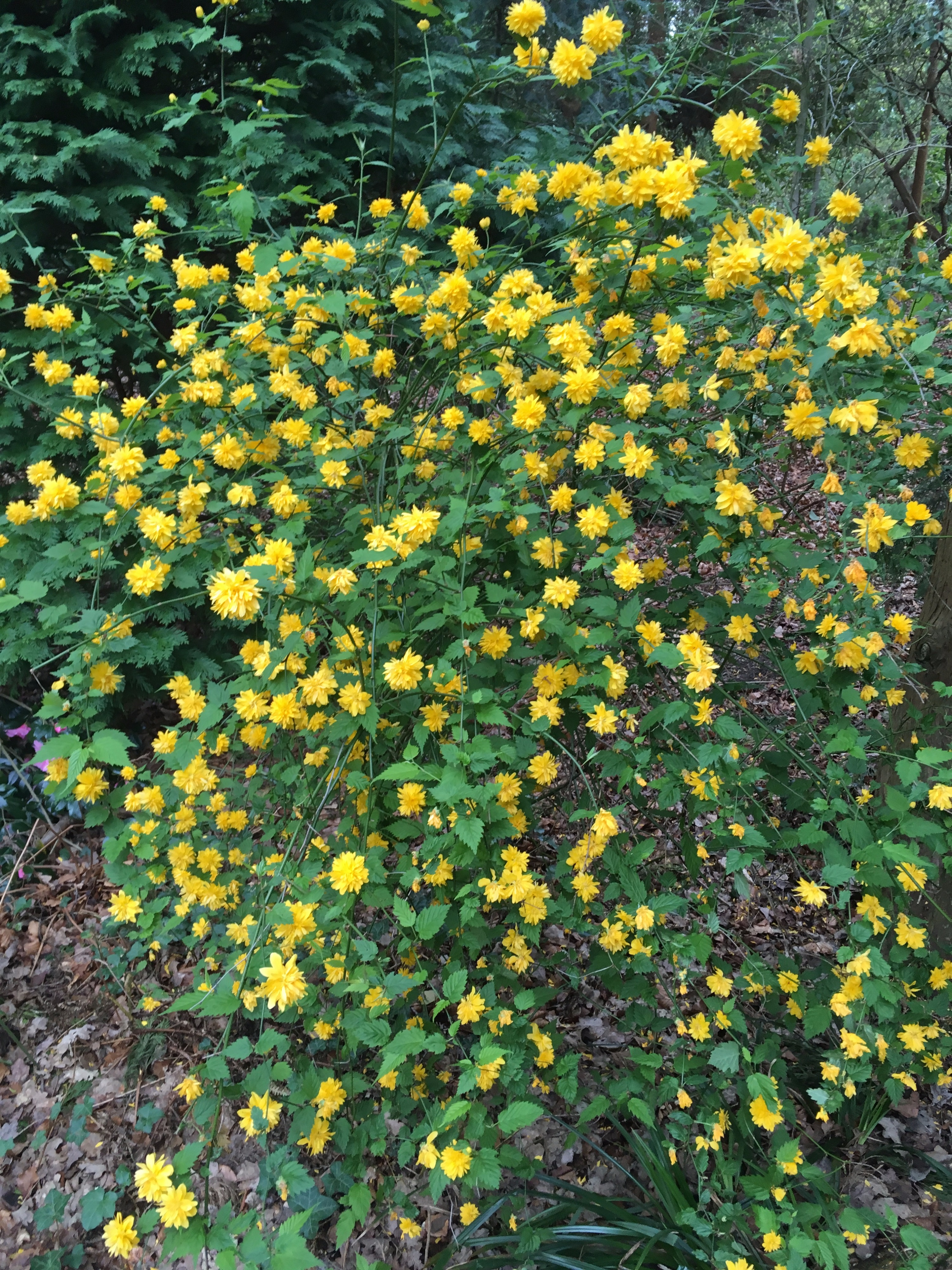 Can Someone Identify This Yellow Flower Plantshrub Forum