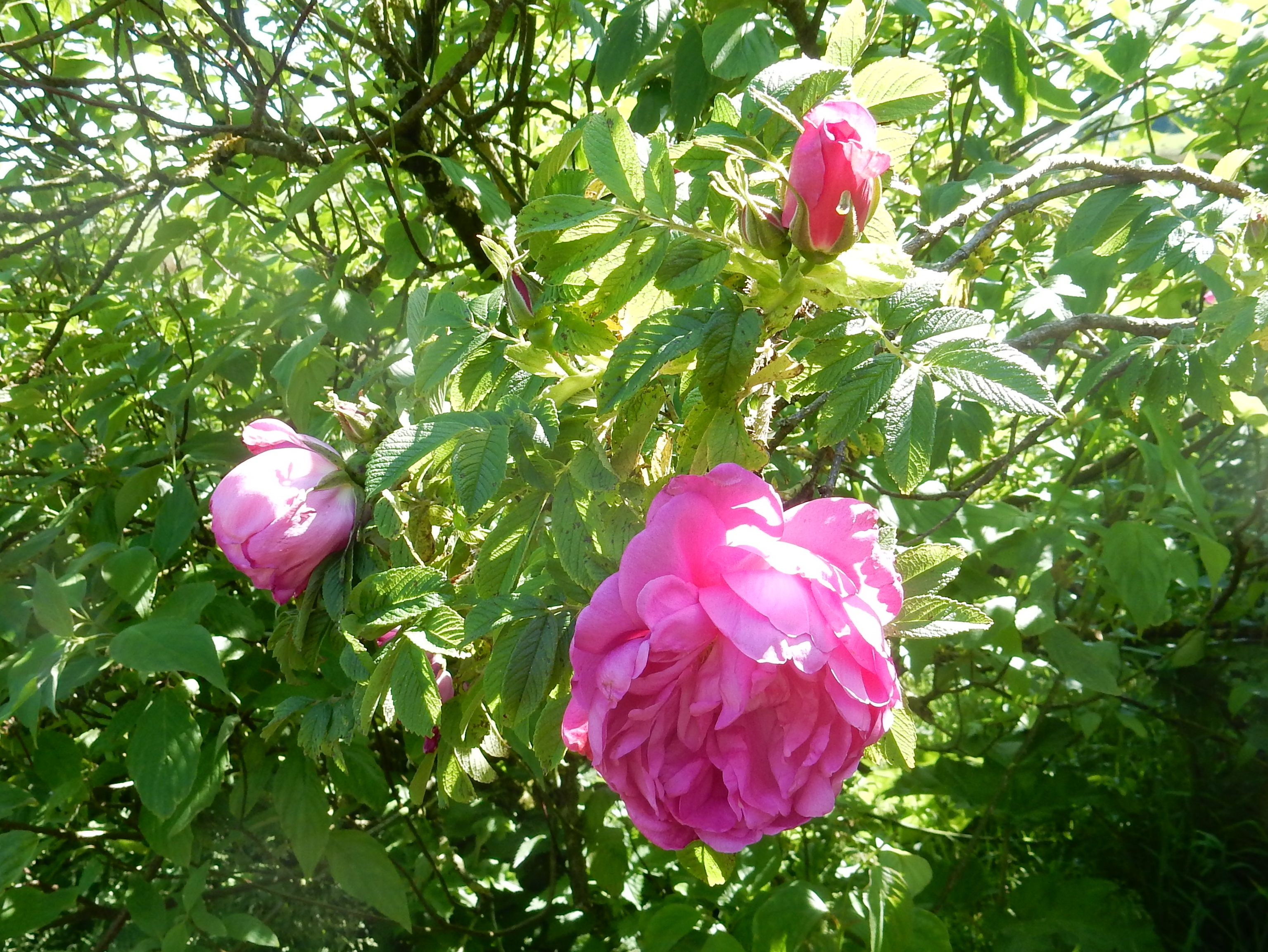 I Grew This One From A Mixed Packet Of Species Roses Reble Seed Er