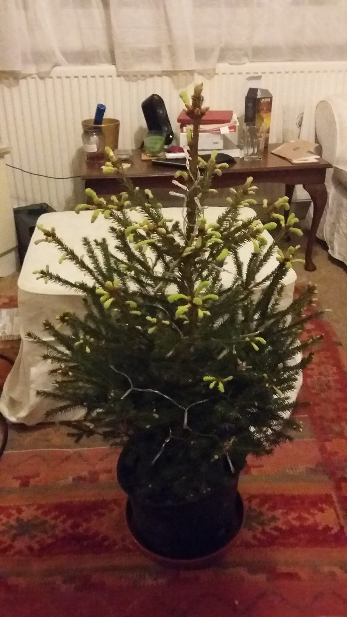 How to look after potted Christmas Tree? — BBC Gardeners' World Magazine