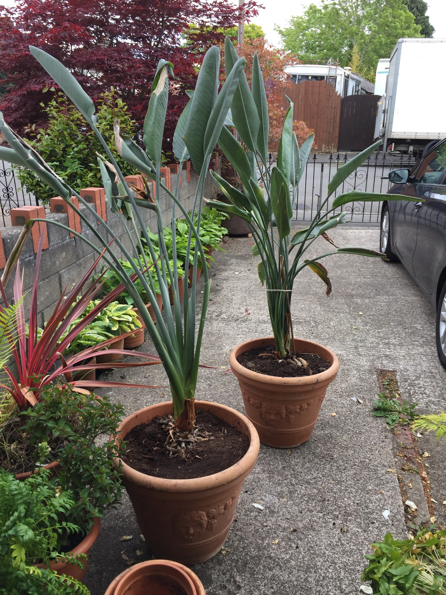 I Ve Acquired Two Birds Of Paradise Plants They Re Not In The Best Condition Leaning And Climbing Out Their Pots