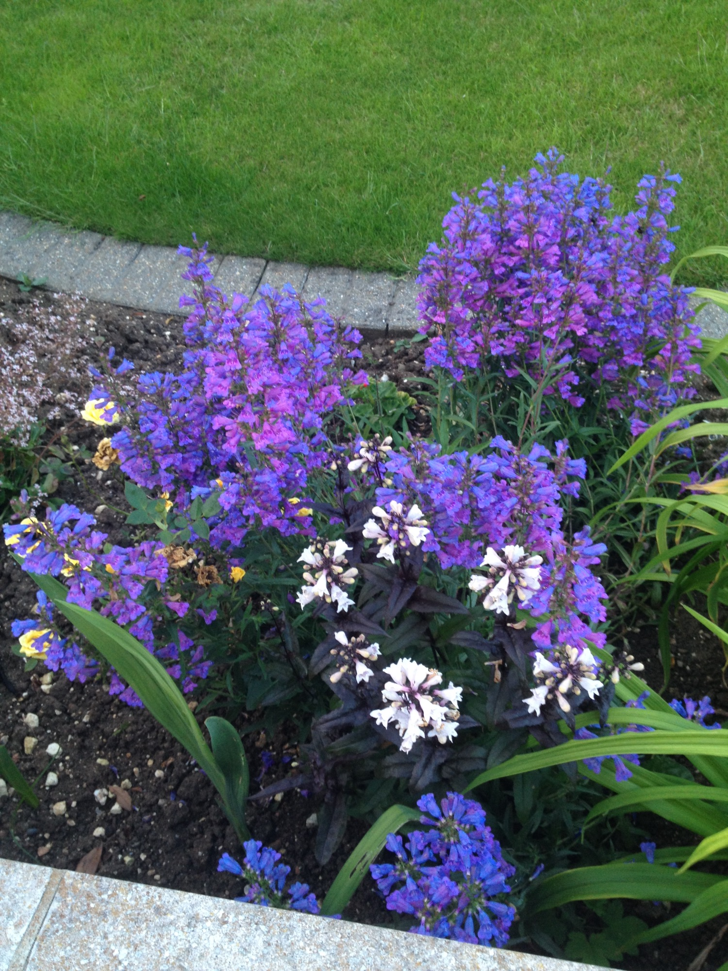 What type of penstemon is this forum gardenersworld i was wondering if anyone knew the name of this penstemon im blown away by its beauty and would like to get my hands on some the bluepinklilac izmirmasajfo Images