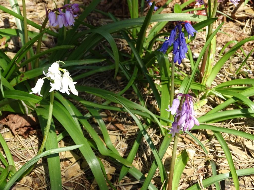 Blue White Pinkmauve Bluebells Forum Gardenersworld