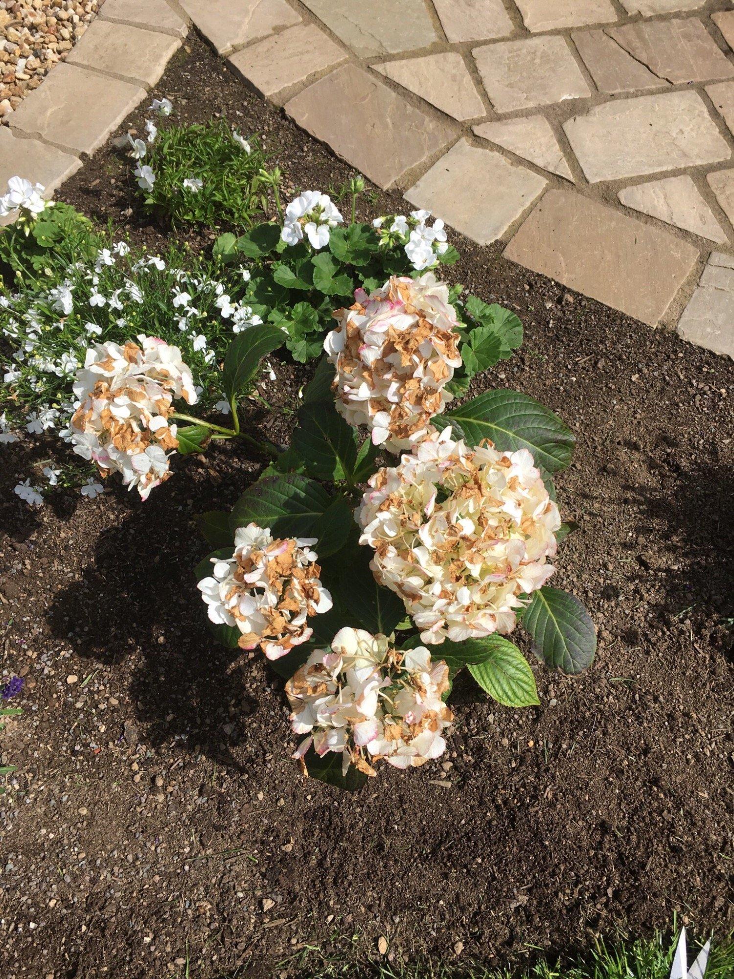 White Hydrangea Flowers Have Gone Brown Bbc Gardeners World Magazine