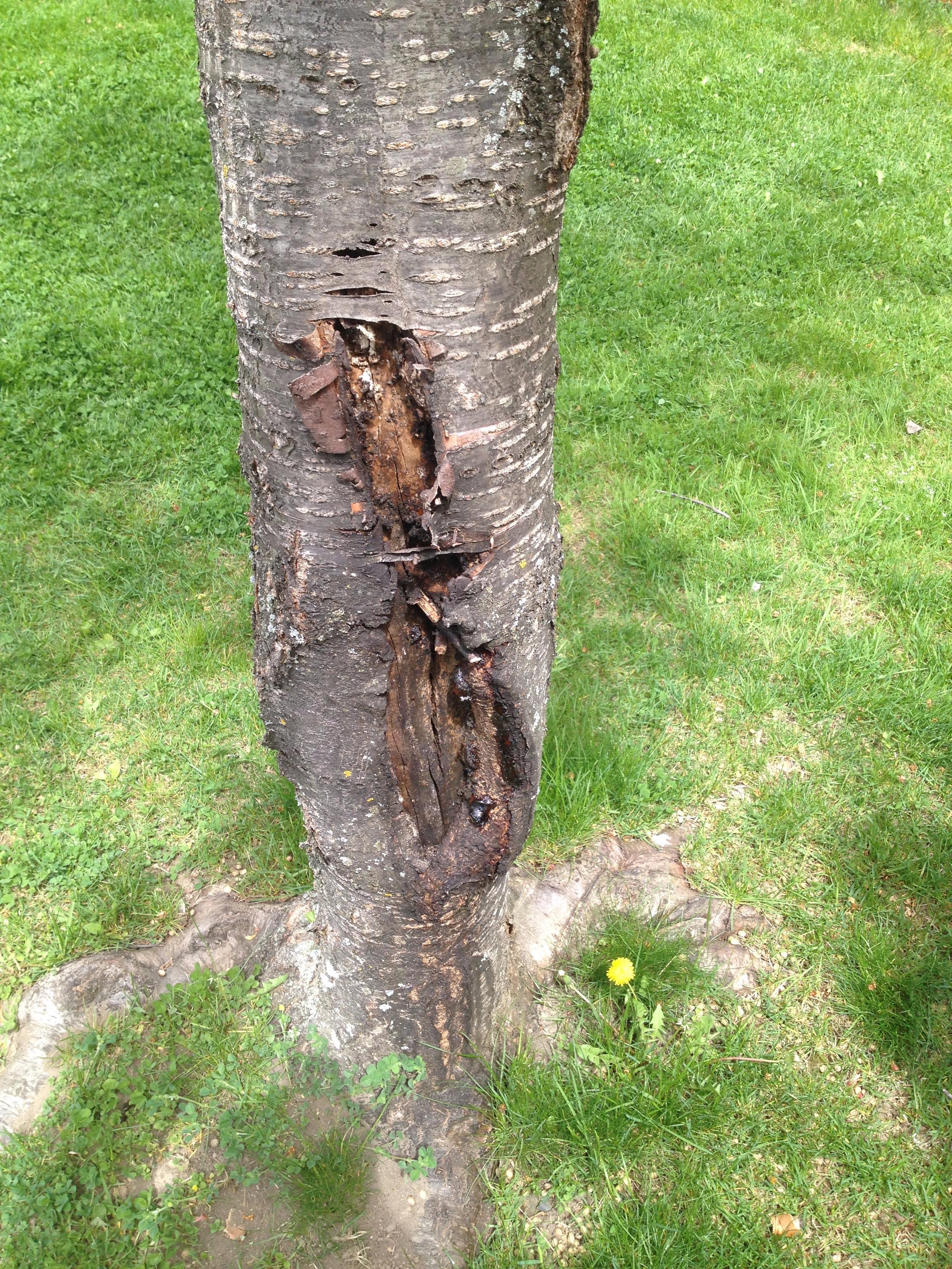 Cherry Tree Canker Bark Split Bbc Gardeners World Magazine