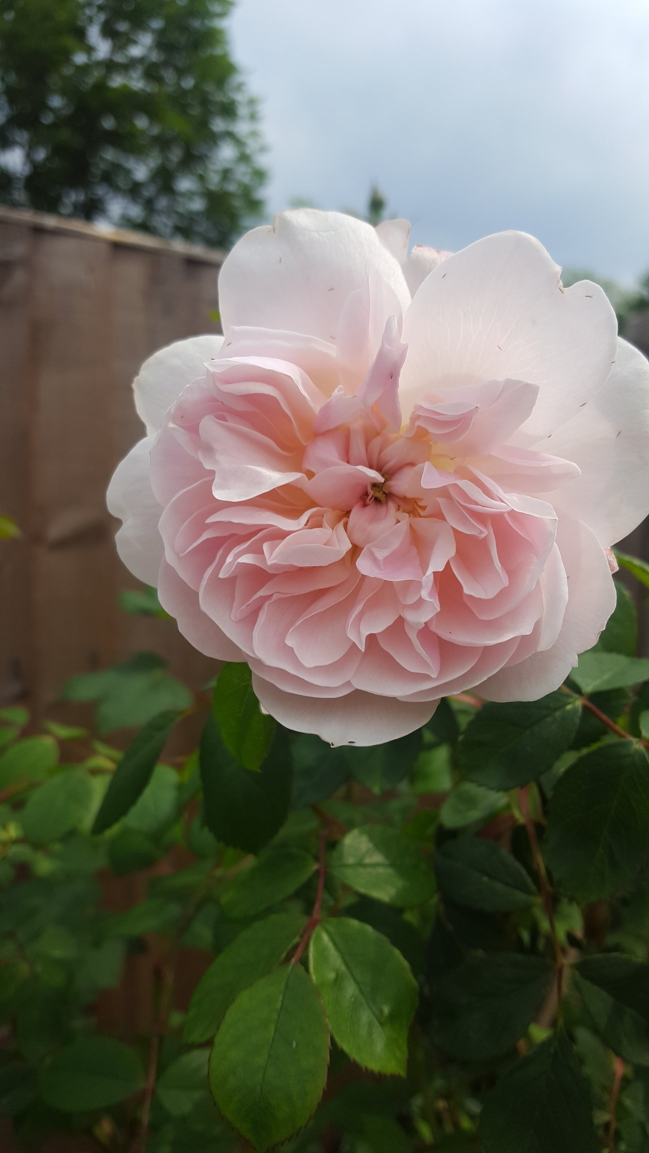 beautiful roses — forum | gardenersworld