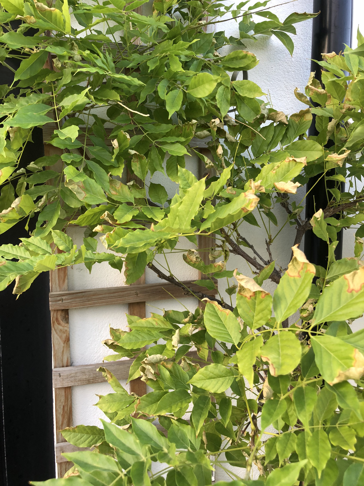Wisteria Yellowing And Dying Leaves Solutions Bbc Gardeners