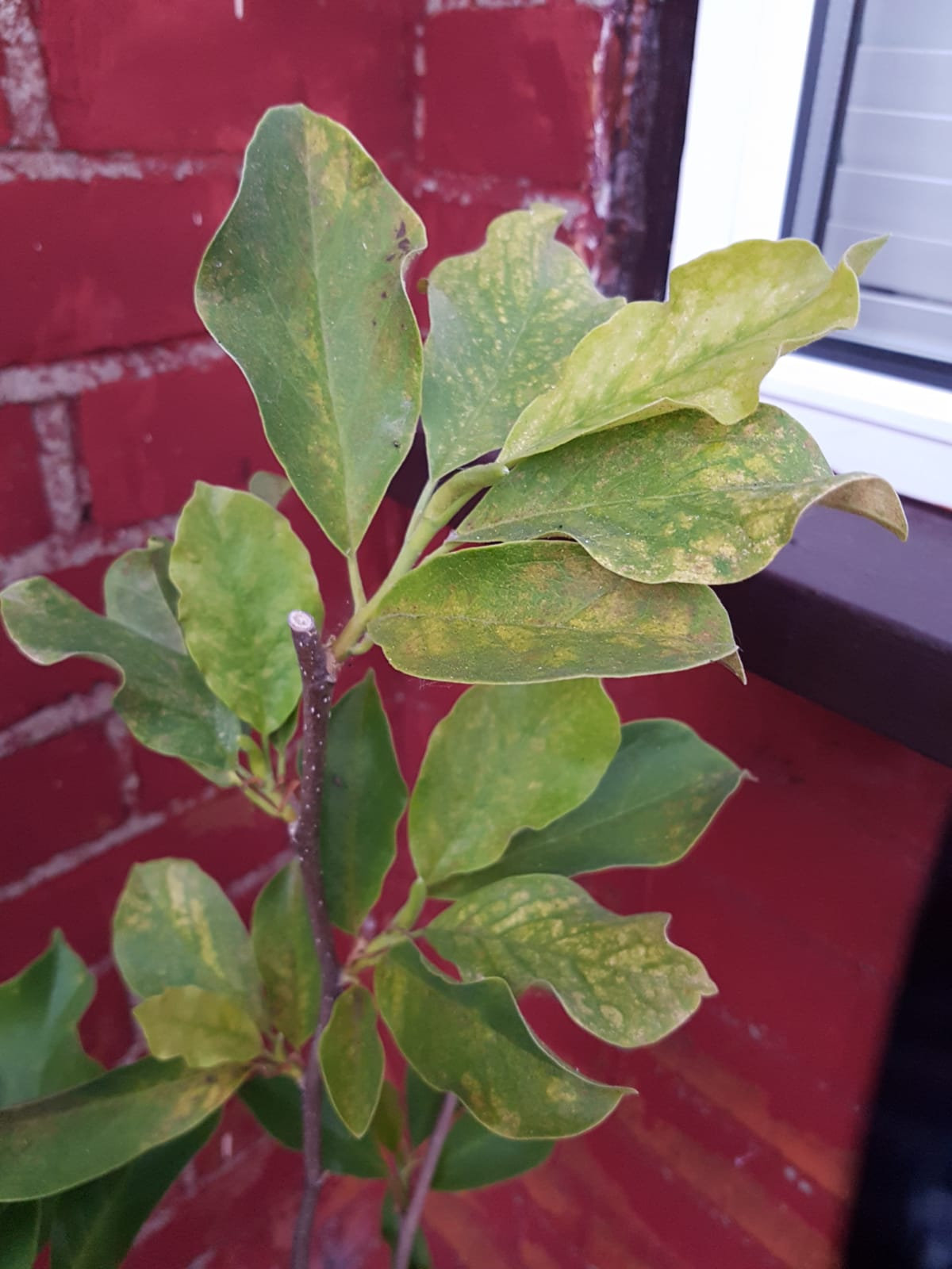Help With Magnolia Tree Leaves That Are Turning Yellow Bbc