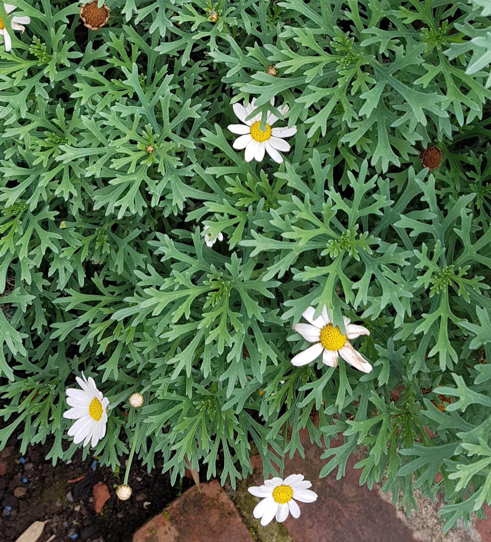 Over Wintering A Daisy Salvia Amistad Plant Forum