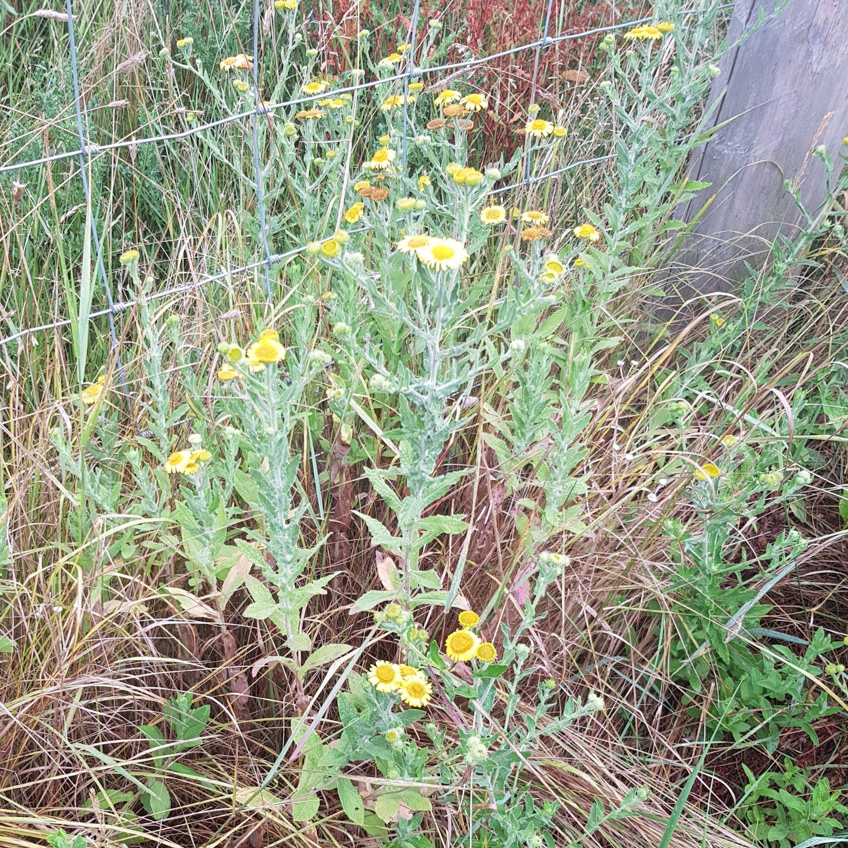 Whats This Weed Yellow Flowers Forum Gardenersworld