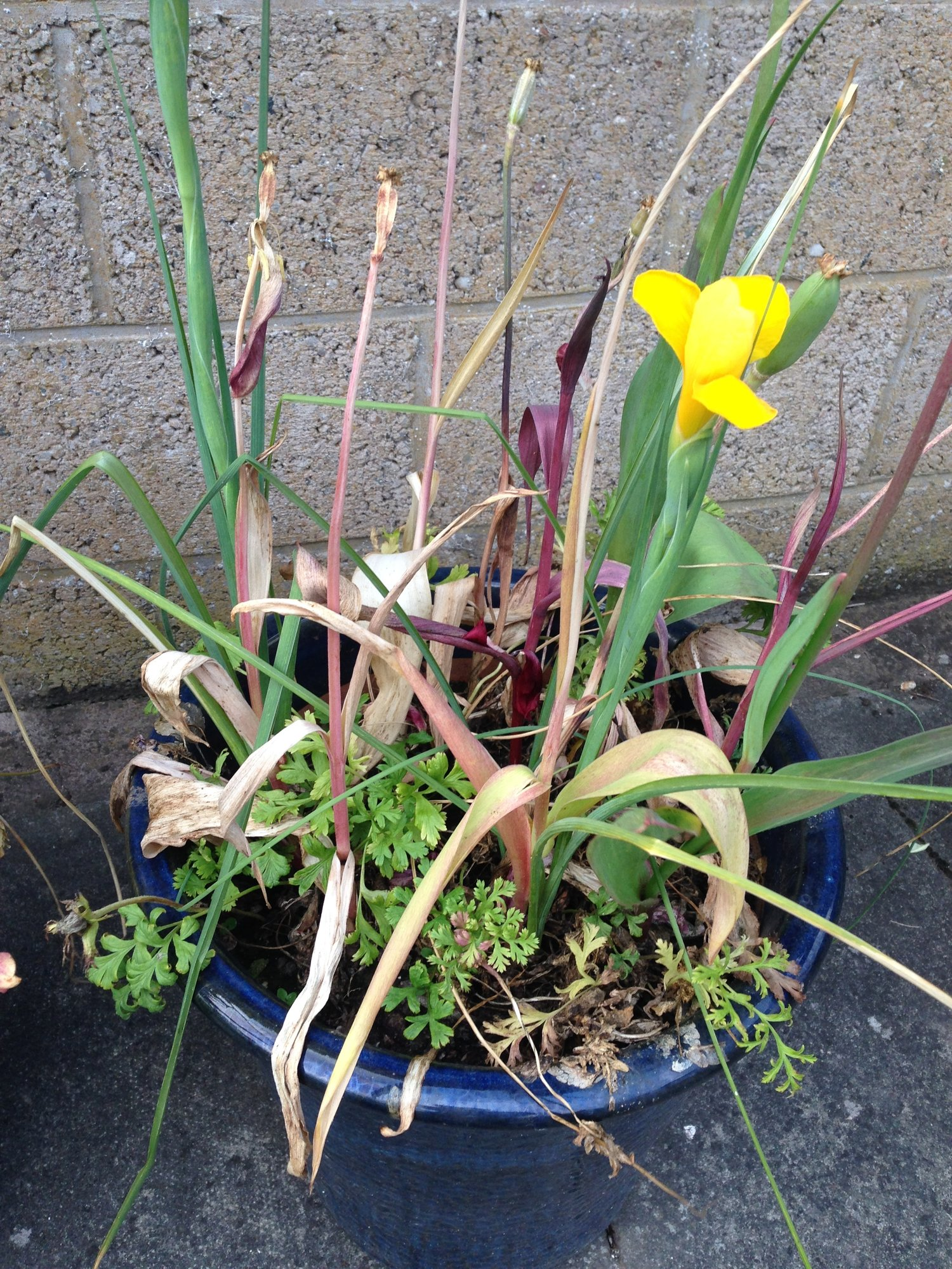 Spring Flowering Bulbs Dying Foliage How Long To Wait Forum