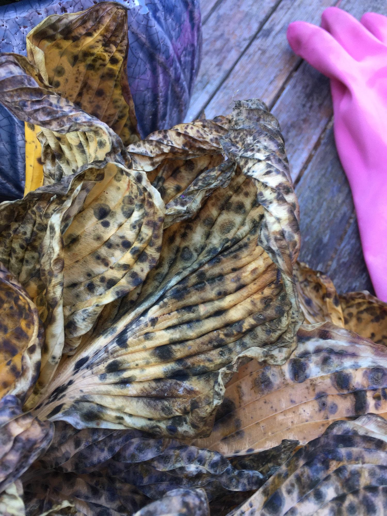 Hosta Leaves Forum Gardenersworldcom
