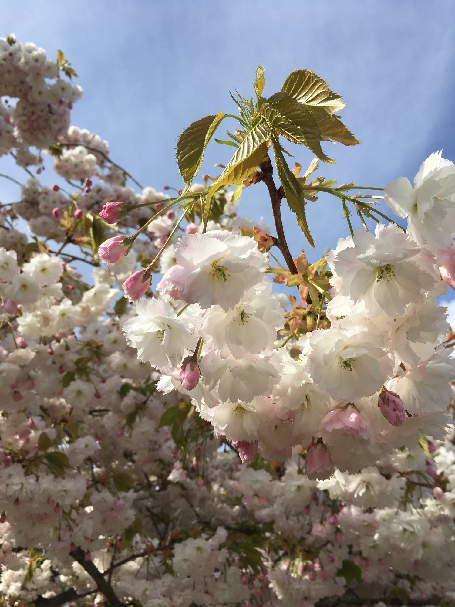 Help Identifying Tree Please Forum Gardenersworld