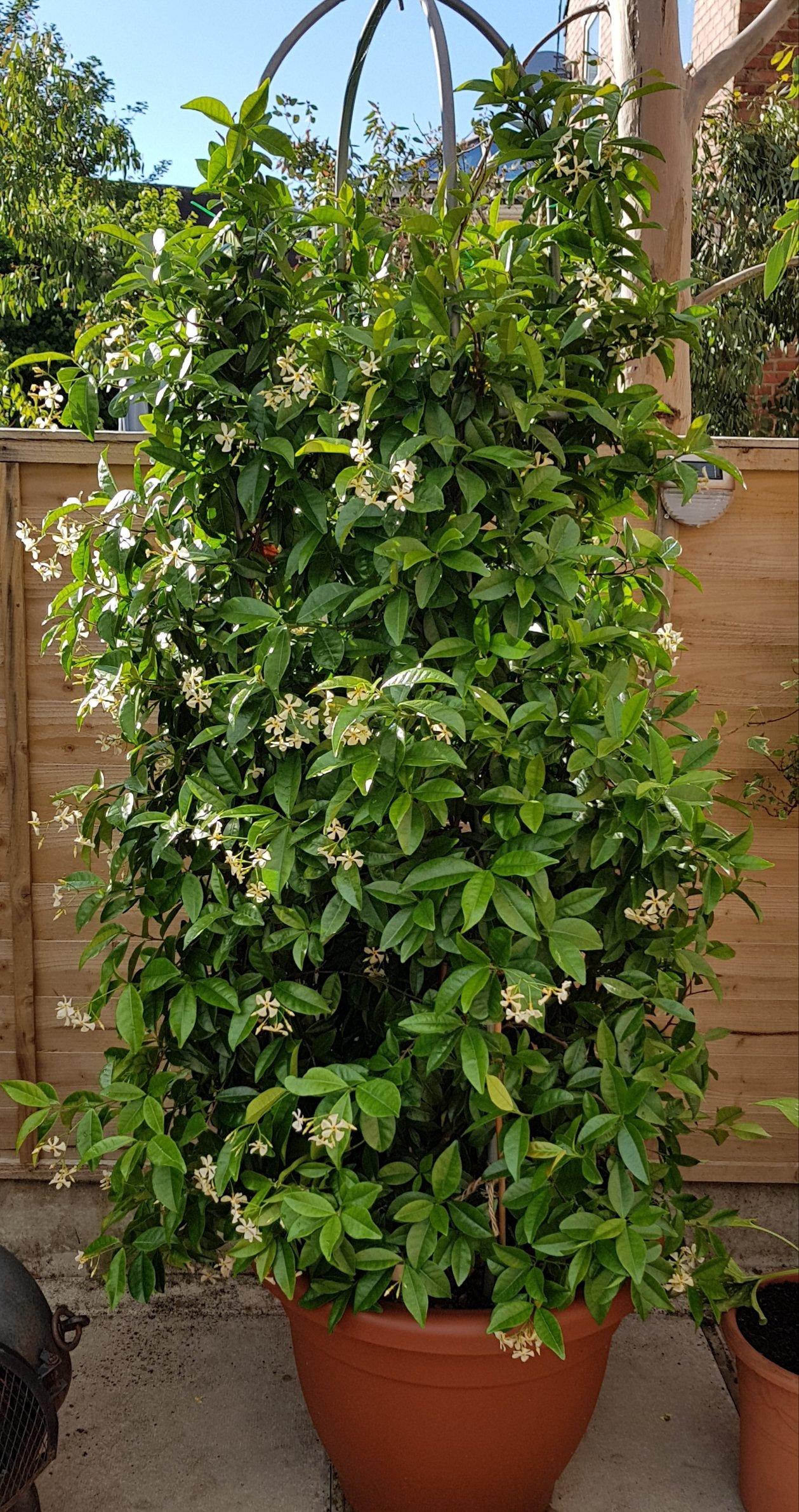 Finally My Jasmine Flowers Forum Gardenersworld