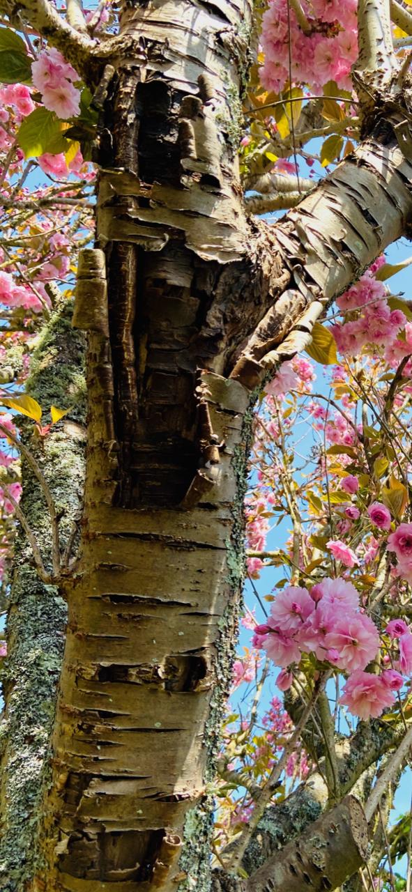 Cherry Tree Peeling Bark Bbc Gardeners World Magazine
