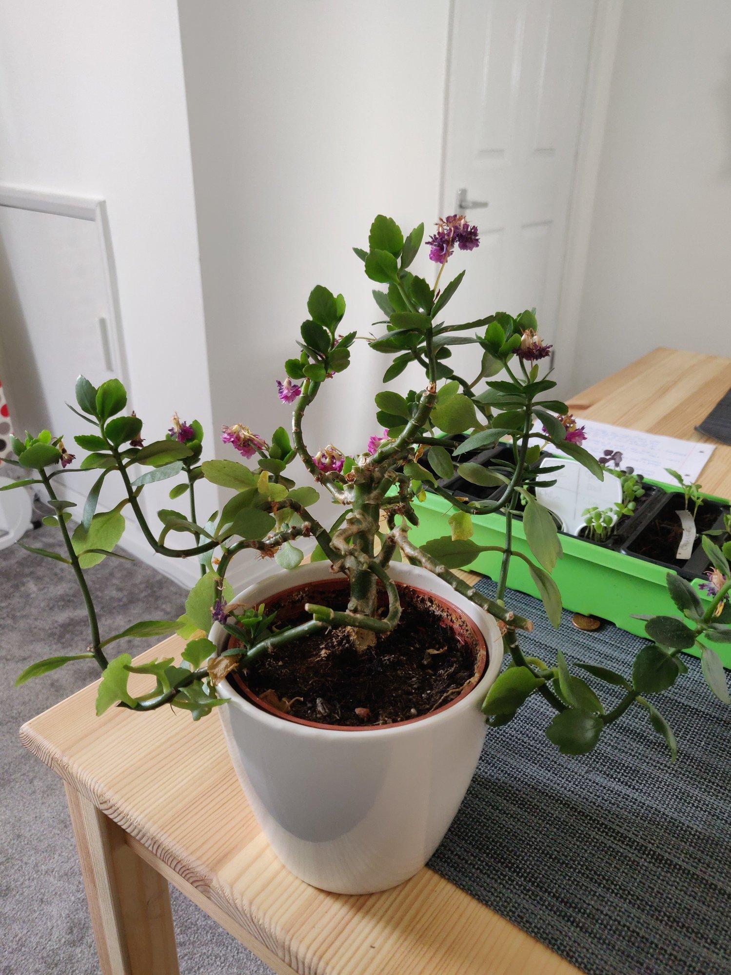 Help With Trimming My Kalanchoe Bbc Gardeners World Magazine