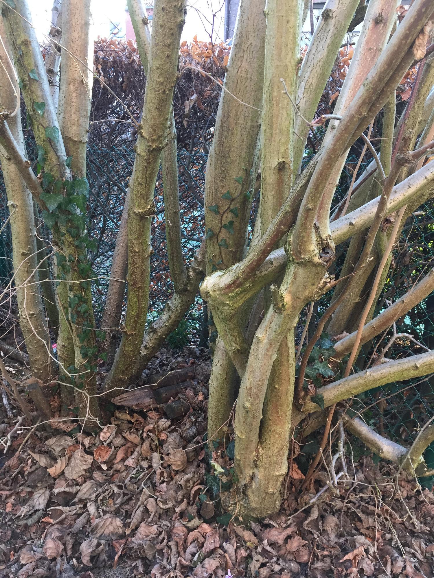 The Right Way To Prune Hazel Bbc Gardeners World Magazine