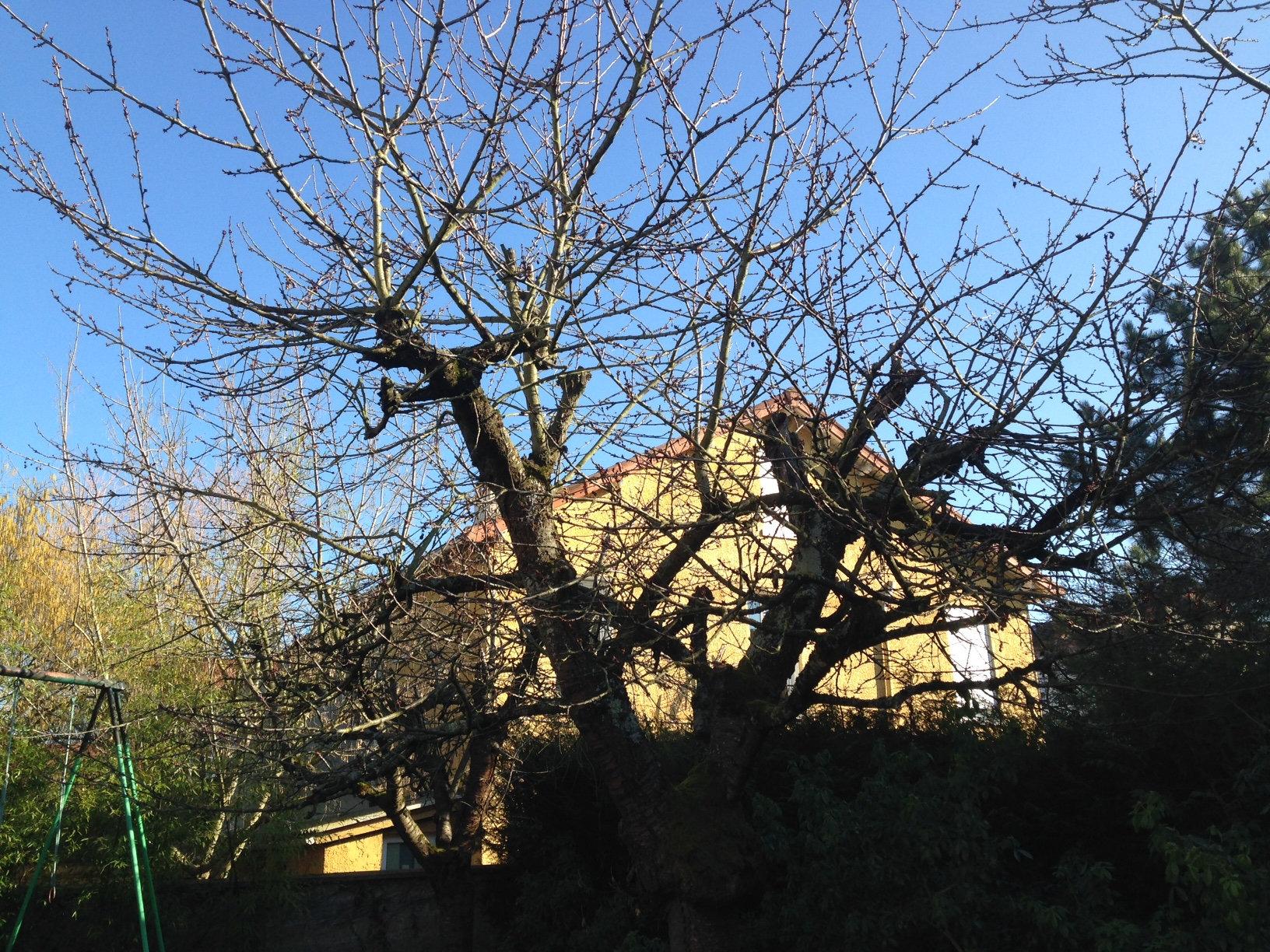 How To Prune An Old Cherry Tree Bbc Gardeners World Magazine