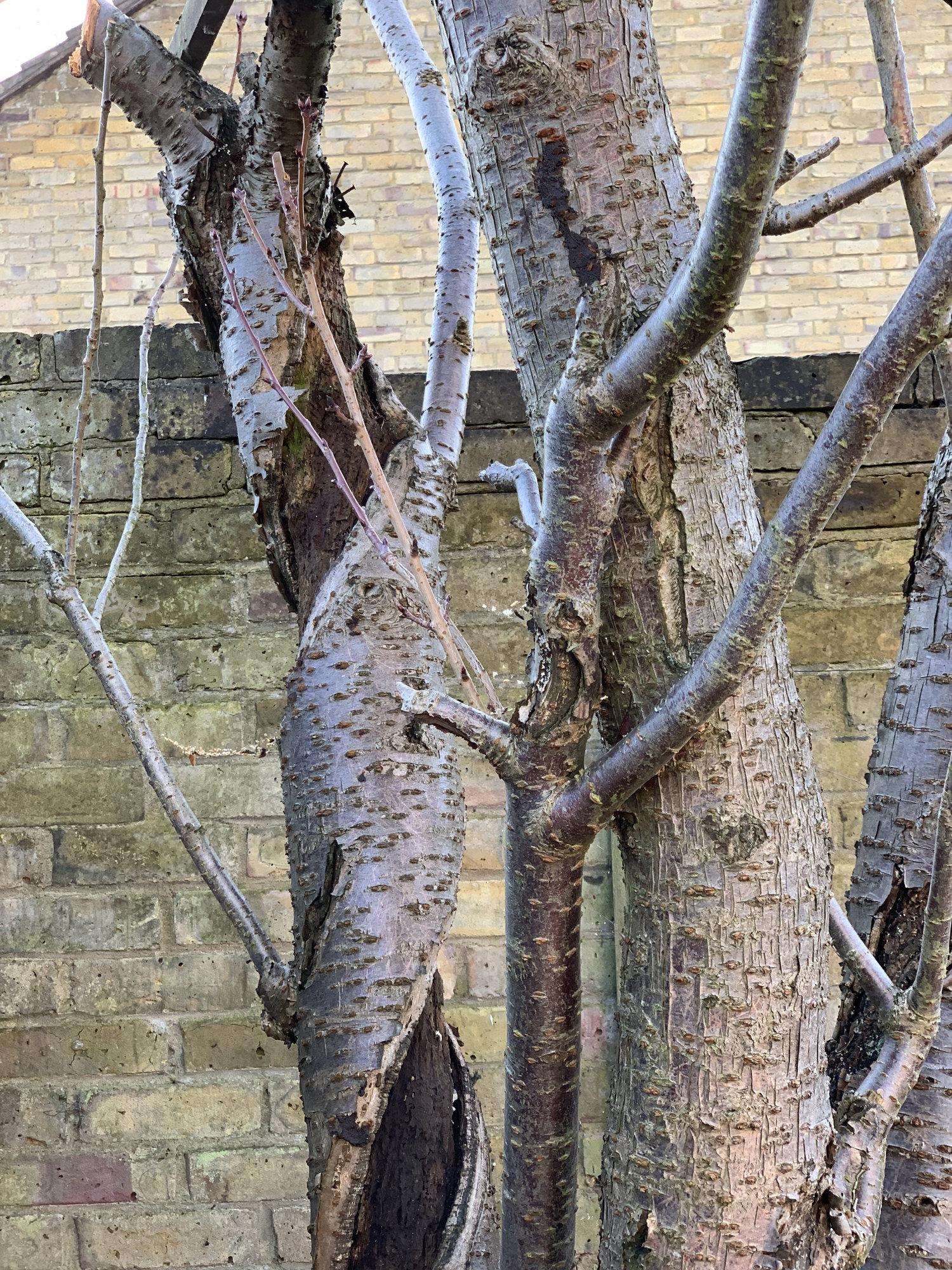 Dying Cherry Blossom Tree Bbc Gardeners World Magazine