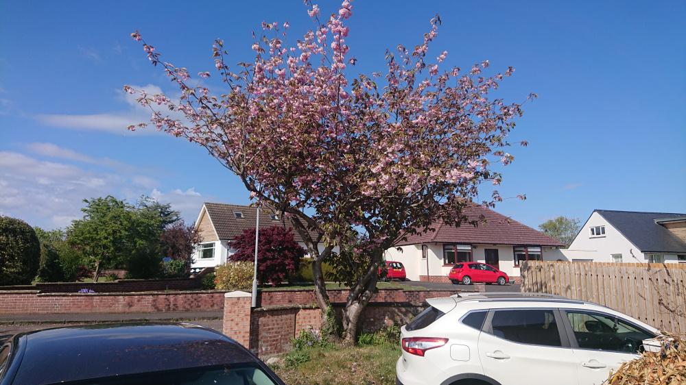 Hard Pruning A Cherry Blossom Tree Bbc Gardeners World Magazine