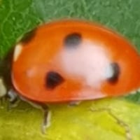 Ladybird4