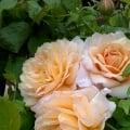 ladygardener2