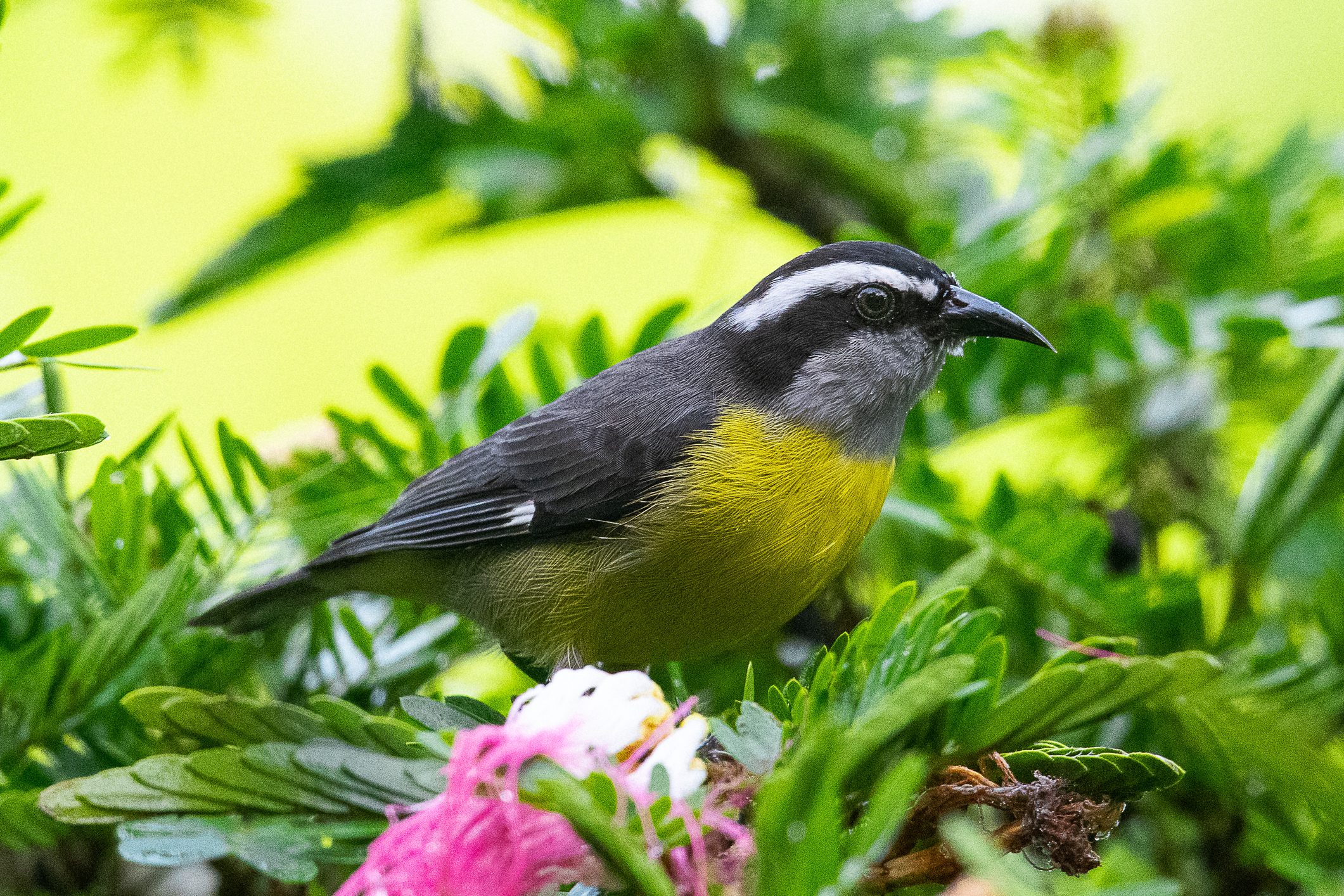 Costa Rican Bird.jpg