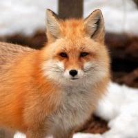 Fox Van Vox